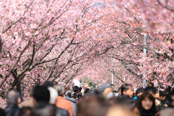 Sakura, Cherry Blossoms, Spring, Japan, Asia, Bloom, Hanami